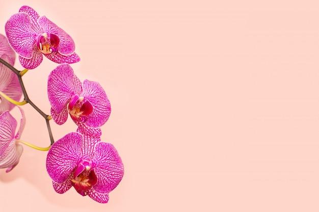 ピンクの背景の美しい穏やかな蘭の花の頭。 Premium写真