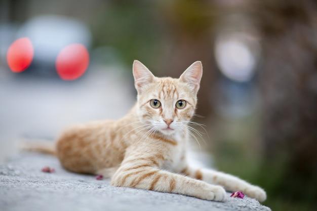 美しい生姜猫 無料写真