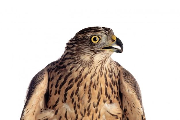 Beautiful goshawk bird Premium Photo