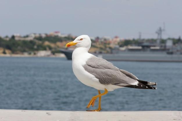 Красивая, изящная чайка шагает по берегу моря по бетонному парапету. Premium Фотографии