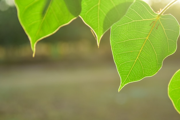 Beautiful green bo leaf on nature background with sunlight, concept of meditation. Premium Photo