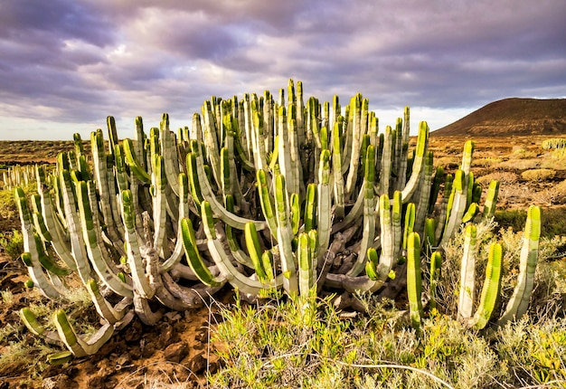 Beautiful green cactus plant in the canary islands, spain Free Photo