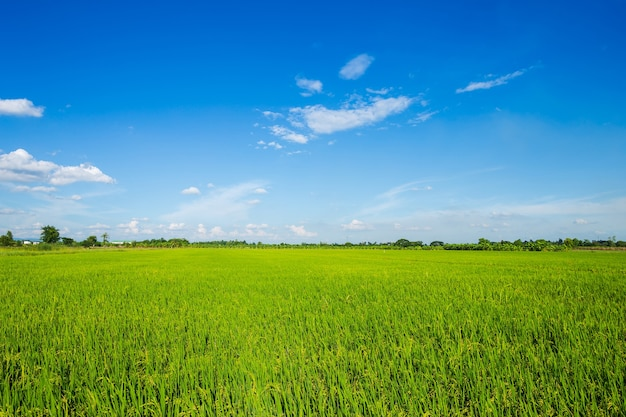 Beautiful green cornfield with fluffy clouds sky ...