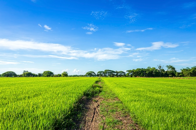 Beautiful green cornfield with fluffy clouds sky. Premium Photo