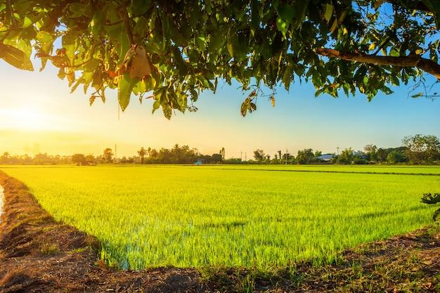 Beautiful green cornfield with sunset sky background ...
