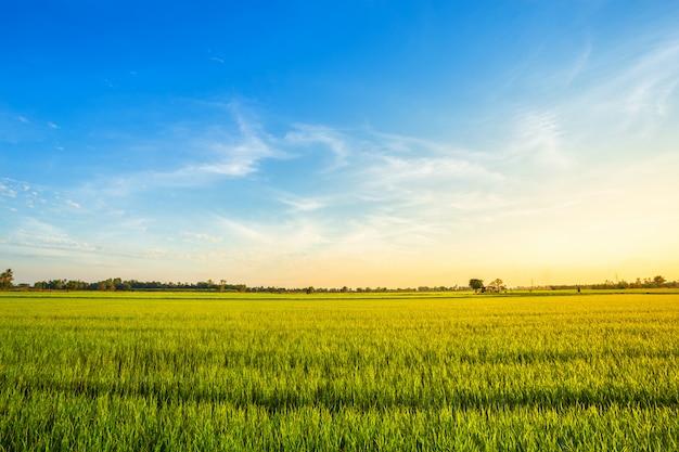 Beautiful green cornfield with sunset sky background. Premium Photo
