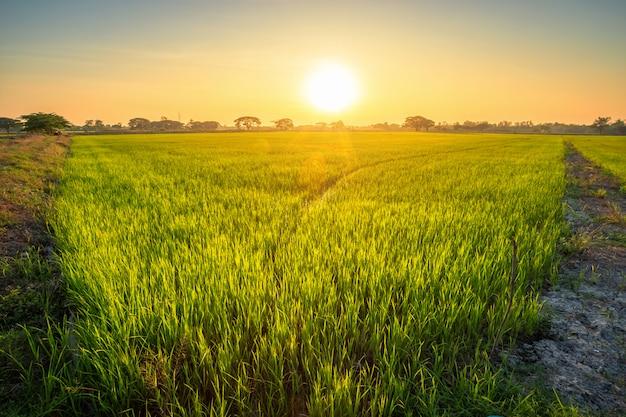 Premium Photo | Beautiful green cornfield with sunset sky ...