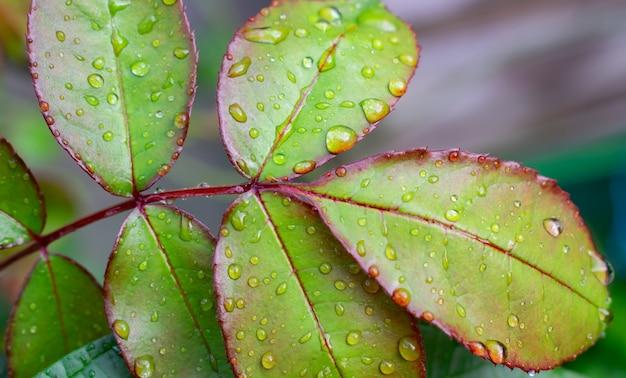 Beautiful green leaf rose with rain drops. Premium Photo