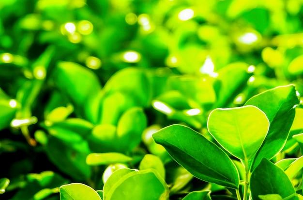夏の日差しには庭に太陽がある美しい緑の葉。 Premium写真