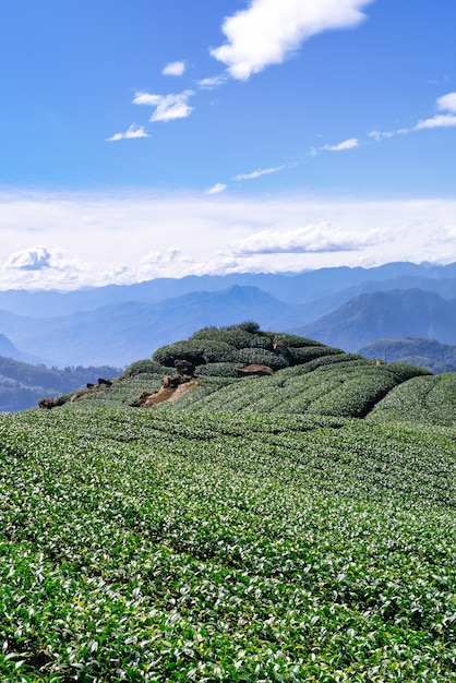Beautiful green tea crop garden rows scene with blue sky and cloud, design concept for the fresh tea product background, copy space. Premium Photo