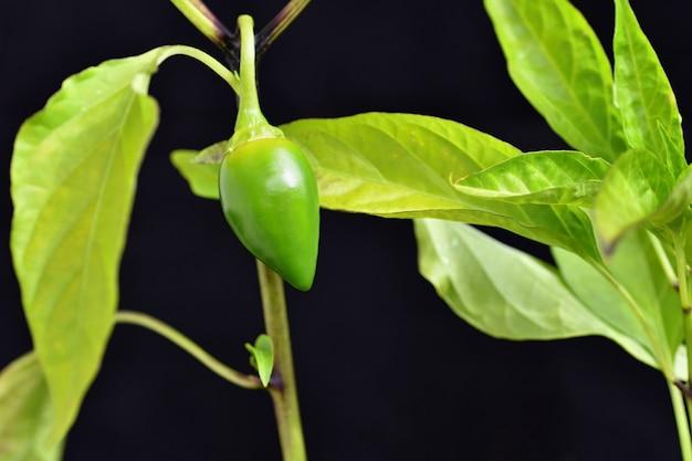 Beautiful green young hot pepper Free Photo