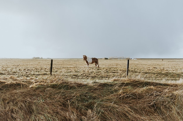 Beautiful grown wild pony standing in a field of dried grass behind a wired fence Free Photo
