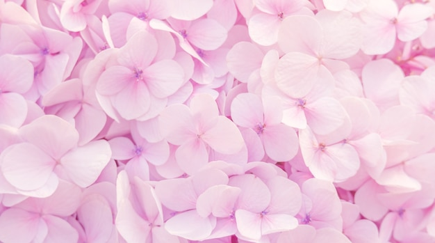 Beautiful Hydrangeas Flowers In Soft Pink Color For Background