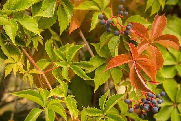 Beautiful ivy parthenocissus quinquefolia  clinging red