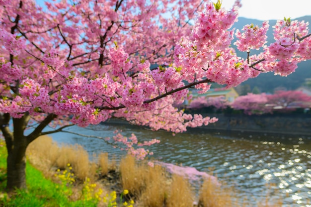 Beautiful japan sakura tree Premium Photo