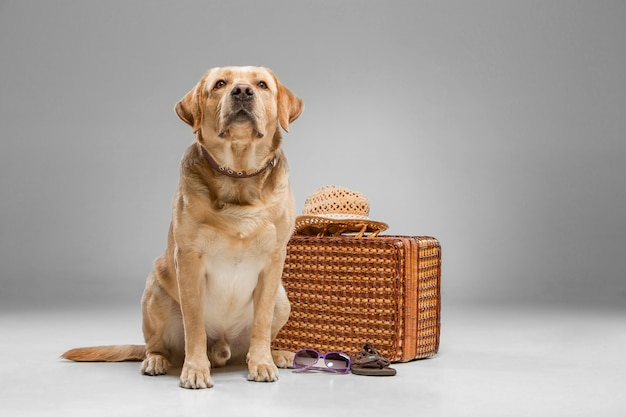 Beautiful labrador with the suitcase Free Photo