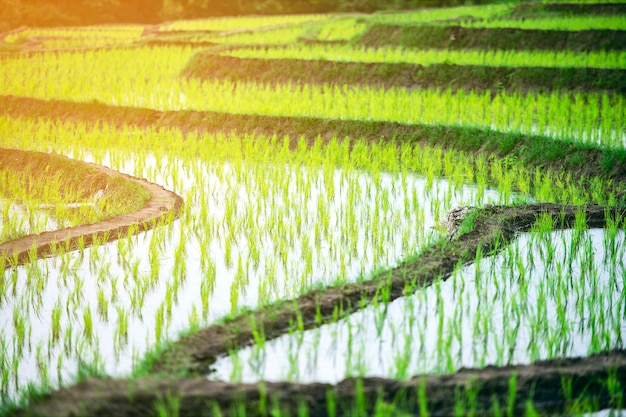 Beautiful landscape view of rice fields Premium Photo