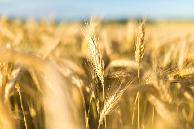 Beautiful landscape with golden grains Free Photo