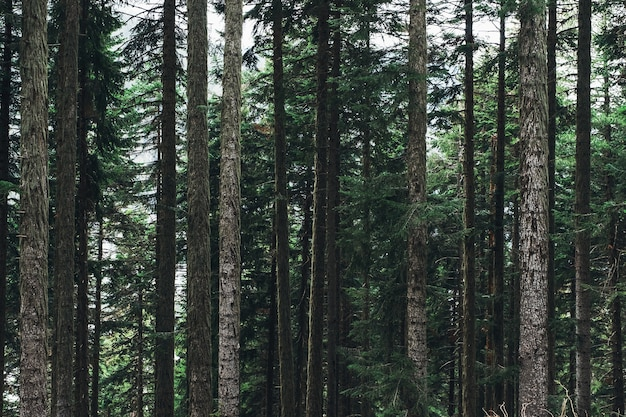 Красивый пейзаж с горными елями парными, хвойными. сила, мощь, вертикальность, устойчивый, стабильный, старый, концепция Premium Фотографии