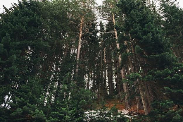 Красивый пейзаж с горами елей, хвойных пород. выстрел под углом. концепция силы и мощности Premium Фотографии