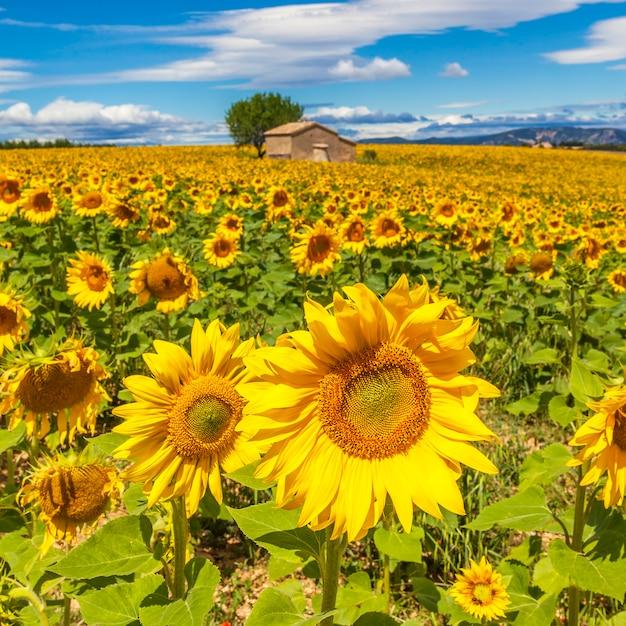 曇った青い空と明るい太陽の光の上にひまわり畑のある美しい風景 無料写真