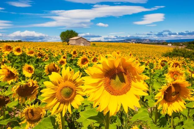 曇りの青い空に向日葵畑の美しい風景 Premium写真