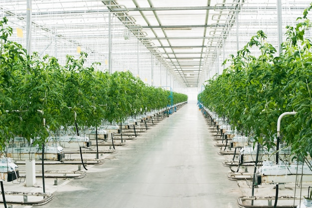 Beautiful large bright greenhouse. a large number of tomato seedlings. celebrate the earth day. ecological care of plants. green tomato plantation Premium Photo