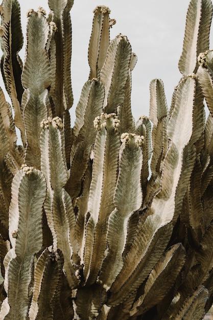 長い先端のとがった枝とそれらに咲く果実の美しい大きなサボテンの木 無料写真