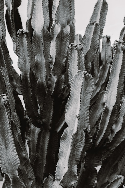 Beautiful large cacti tree with long spiky branches and blooming fruit on them Free Photo