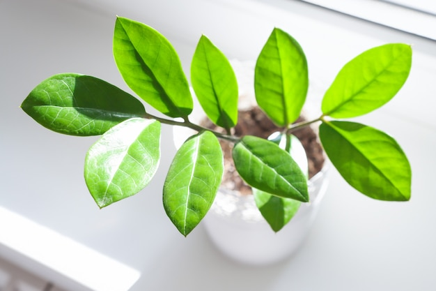 Beautiful leaves of a home plant zamioculcas closeup top view Premium Photo