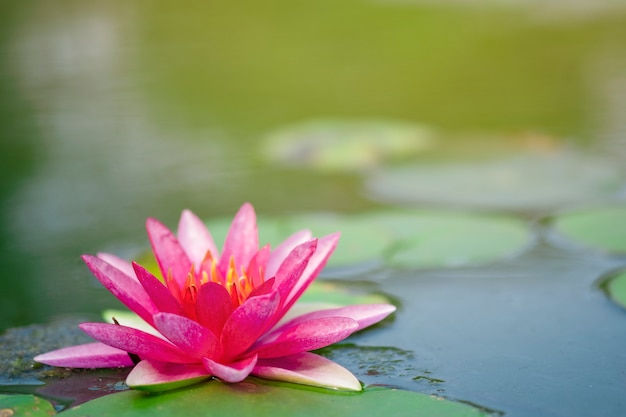 Beautiful light pink of water lily or lotus with yellow pollen on surface of water in pond. Premium Photo
