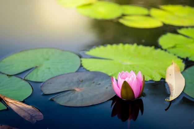 美しい淡いピンクの睡蓮 Premium写真