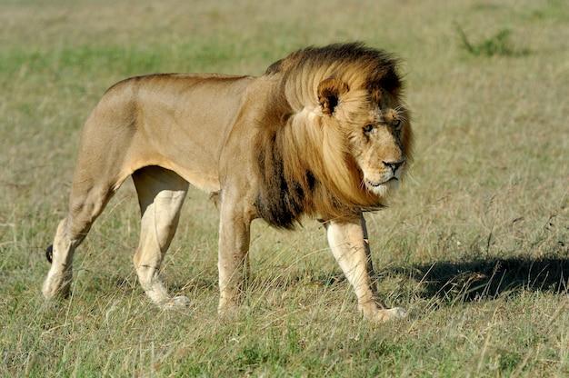 ケニアのマサイマラの草の中にある美しいライオンシーザー 無料写真