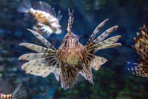 Bellissimo pesce leone in bilico a metà acqua a caccia di piccole prede in acqua blu Foto Gratuite