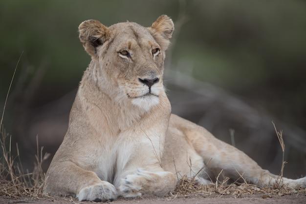 Bella leonessa nella natura Foto Gratuite