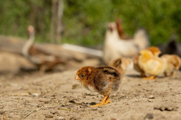 Beautiful little chickens on a background of hens. Premium Photo