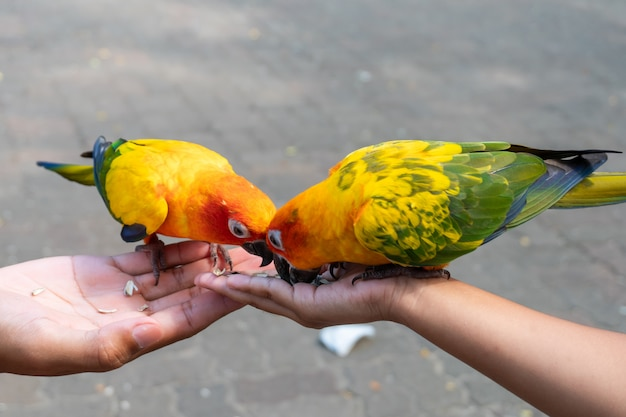 Beautiful little parrot birds standing on child hand and eating sunflower seed on hand Premium Photo