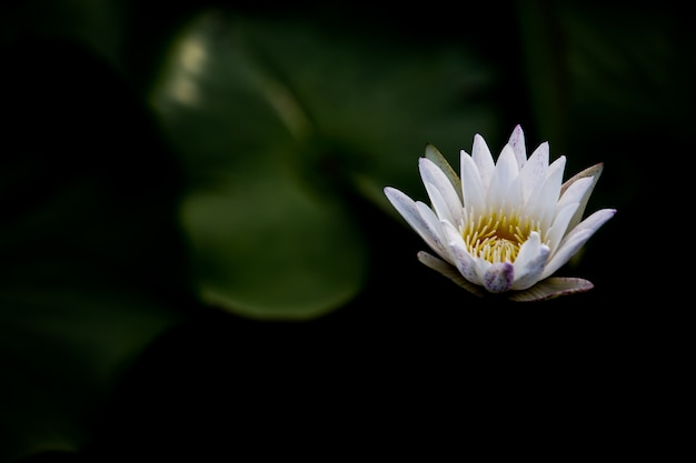 Beautiful lotus flower is the symbol of the buddha thailand photo beautiful lotus flower is the symbol of the buddha thailand premium photo mightylinksfo