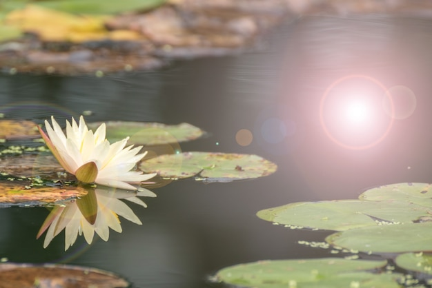Beautiful lotus flower in pond. the symbol of the buddha, thailand. Premium Photo