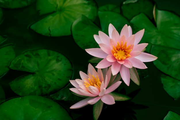 Beautiful lotus flower or water lily in a pond with green leaves in the background Premium Photo