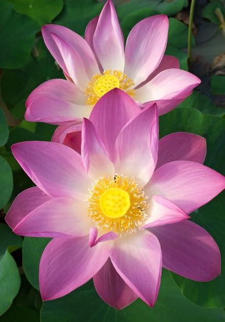 Beautiful lotus flowers are blooming. Premium Photo