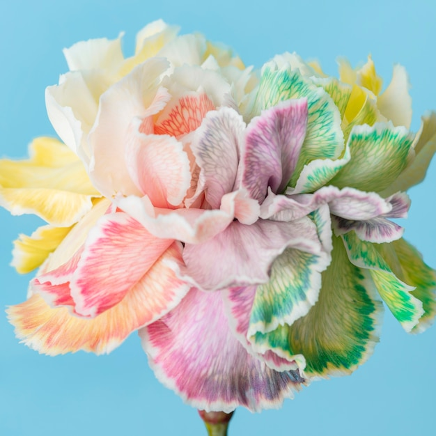 아름 다운 매크로 피어 꽃 무료 사진