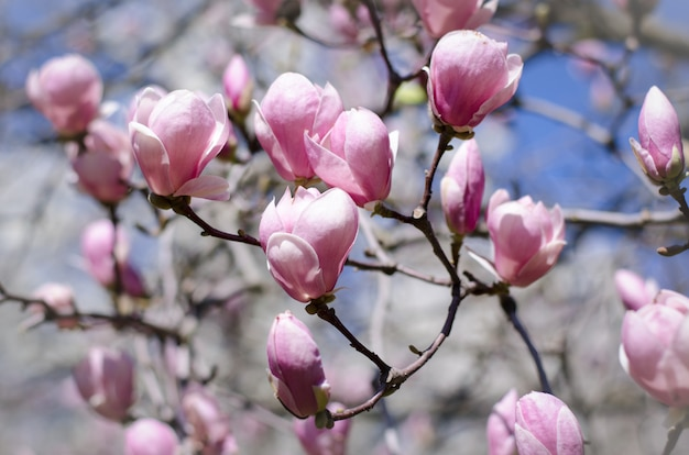 Beautiful magnolia tree blossoms in springtime. Premium Photo