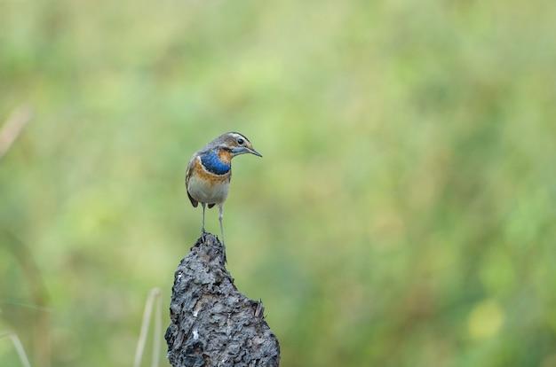 Beautiful male bluethroat (luscinia svecica) in nature. thailand Premium Photo