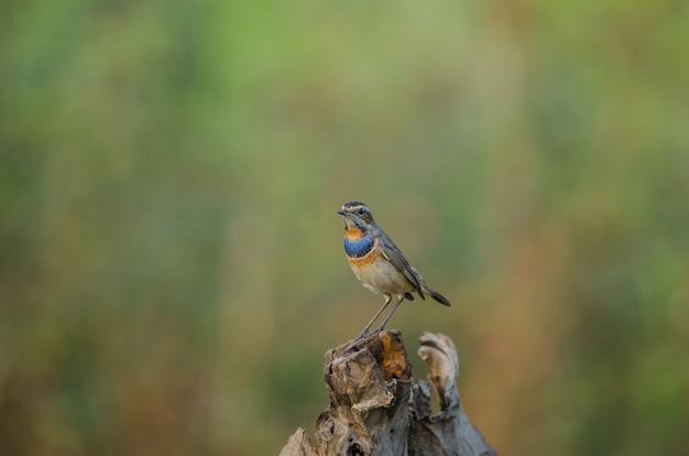 Beautiful male bluethroat (luscinia svecica) Premium Photo
