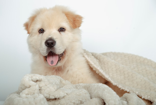 Beautiful mongrel puppy surrounded with his blanket Premium Photo