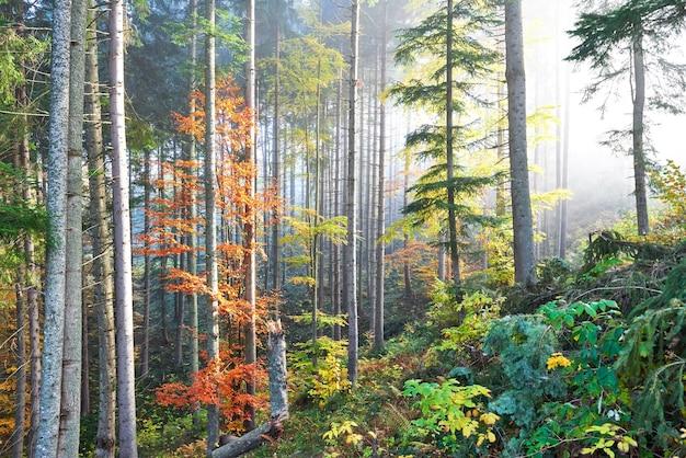 Bella mattina nella foresta nebbiosa di autunno con maestosi alberi colorati. Foto Gratuite
