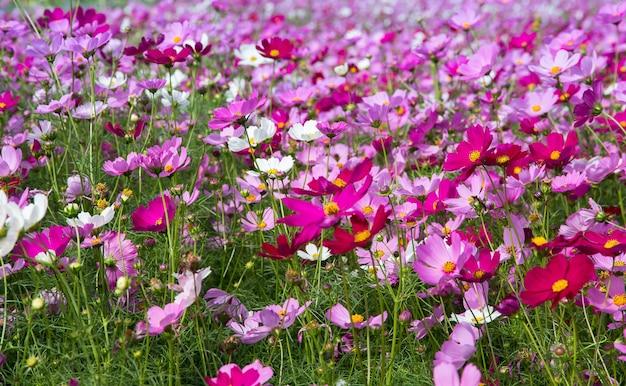 Beautiful of cosmos flower field for backgroundspring season beautiful of cosmos flower field for backgroundspring season flowers premium photo mightylinksfo