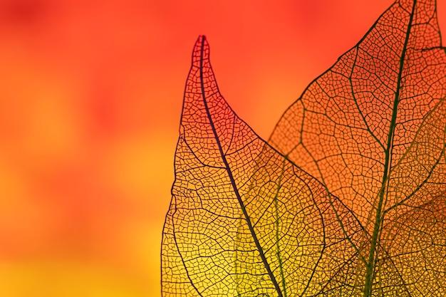 Beautiful orange transparent fall leaves Free Photo