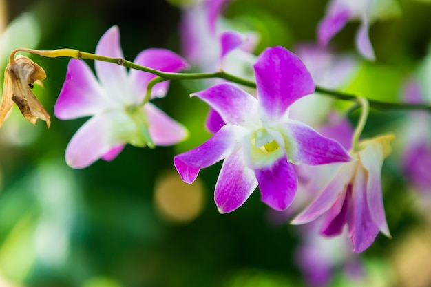 Beautiful orchid flower in garden at morning sun with natural background. Premium Photo